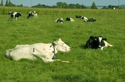 A herd of cows. Stock Photo
