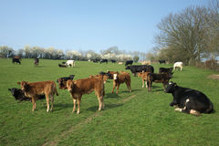Herd of Cows. Cattle grazing in a green meadow in early spring Stock Images
