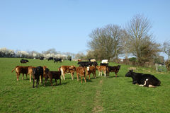 Herd of Cows. Grazing in a Field Royalty Free Stock Photos
