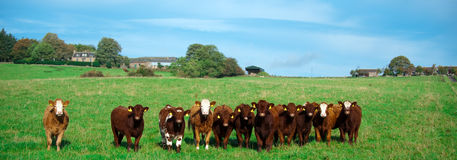 Herd of cows. Front view on a herd of staring brown milk cows standing on beautiful pasture in a row Royalty Free Stock Images