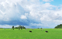 Herd of cows. Royalty Free Stock Images