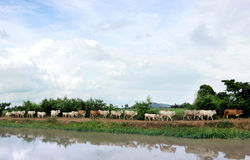Herd of cows Stock Images