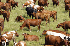 Herd of cows Stock Image