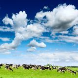Herd cows Stock Photography