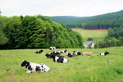 A herd of cows Royalty Free Stock Image