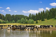Herd of cows. Rural landscape with herd of cows stock photo