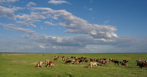 Herd of cows. Cow herd in green field with blue sky and white clouds royalty free stock photo