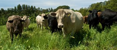 Herd of cows. Wide angle view of herd of cows in countryside field Royalty Free Stock Photos