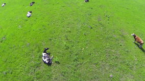 A herd of cows . Aerial view. stock video