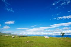 Herd of Cows on  Alpine  Ecologically Clean Pasture in Summer Da Royalty Free Stock Photos