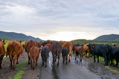 Herd of cows in the Australia Stock Photos