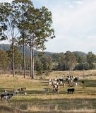Herd of cows on Australian cattle station. Herd of cows on Australian beef cattle station rural ranch royalty free stock images