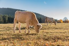 A herd of cows on autumn pasture. Autumn meadow and cow Stock Photography