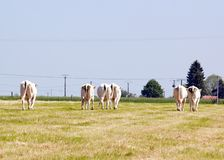 Herd of cows, back, in good alignment. Royalty Free Stock Photography
