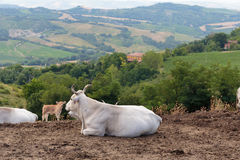 Herd of cows on background of the hilly landscape in Tuscany Stock Photography