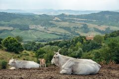 Herd of cows of the hilly landscape in Tuscany Italy. Herd of cows on the background of the hilly landscape in Tuscany Italy Stock Photos