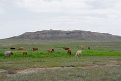 Herd of cows on the background of mountains Stock Images