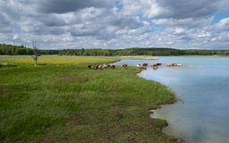 A herd of cows bathing in a lake. In a flat landscape. A grass field in the foreground and forest in a background Stock Photos