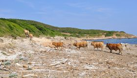 Herd of cows on a beach Stock Image