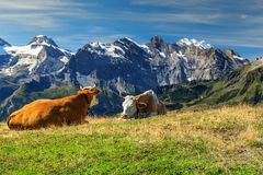 Herd of cows at beautiful green field,Bernese Oberland,Switzerland. Cows grazing on a meadow and high snowy mountains in background,Mannlichen,Bernese Oberland Stock Images