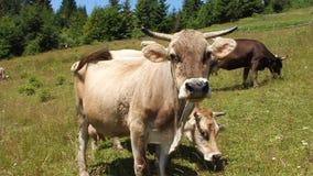 Herd of cows stock video footage