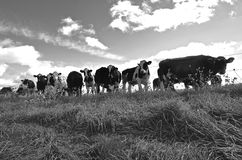 Herd of cows (black and white) Stock Photos