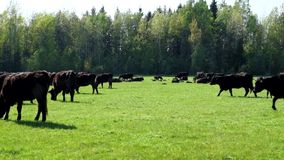 A herd of cows breed black Angus grazing in a green field stock video footage