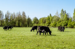 A herd of cows breed black Angus grazing in a green field Royalty Free Stock Image