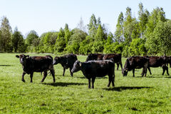 A herd of cows breed black Angus grazing in a green field Stock Photos