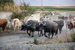 Herd of cows and buffaloes. In the countryside Stock Image