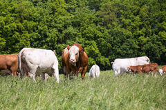 A herd of cows with calves and bulls grazing on the pasture. Nature fauna and flora. Royalty Free Stock Photo