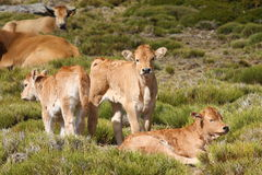Herd of cows and calves in field Stock Photography