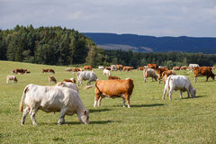 Herd of cows and calves Stock Photos