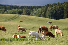 Herd of cows and calves Royalty Free Stock Image
