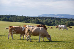 Herd of cows and calves grazing on a green meadow. Royalty Free Stock Images