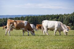 Herd of cows and calves Royalty Free Stock Images