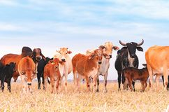 Herd with cows and calves on the pasture of a farm Stock Image