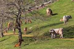 Herd of cows and calves in spring Royalty Free Stock Image