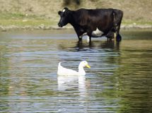 A herd of cows came to drink to the river stock photography