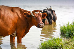 A herd of cows came to the watering place royalty free stock images
