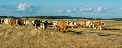A herd of cows coming through the field with a lawn on which grazed, Royalty Free Stock Photography