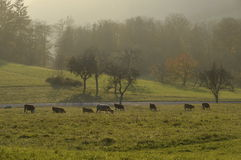 Herd of cows in countryside Stock Photography