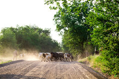 Herd of cows with cowherd on the country road. Photo can be used as a whole background royalty free stock images