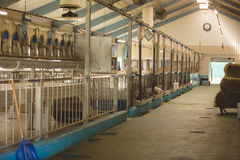 Herd of cows in cowshed on farm. Herd of cows in big cowshed on farm Royalty Free Stock Images