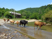 Herd of cows crossing the river. Herd of cows walking along the road across the river, rural landscape, summer nature, green forest Stock Photos