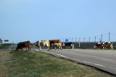 Herd of cows crossing the road. In steppe Stock Photo