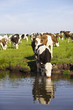 Herd of cows down at the waters edge. A herd of cows grazing near the waters edge and one drinking from the water Royalty Free Stock Photos