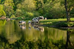 Cows in River Dee outside Llangollen in Wales stock photo