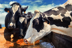 Herd of cows drinking water. Agricultural concept Stock Photo