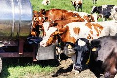 Herd of cows drinking water. Agricultural concept Royalty Free Stock Photo